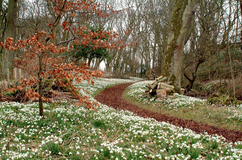Galanthus Trail