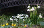 Snowdrops, snowflakes and aconites