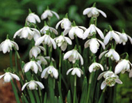 Double unsorted snowdrops